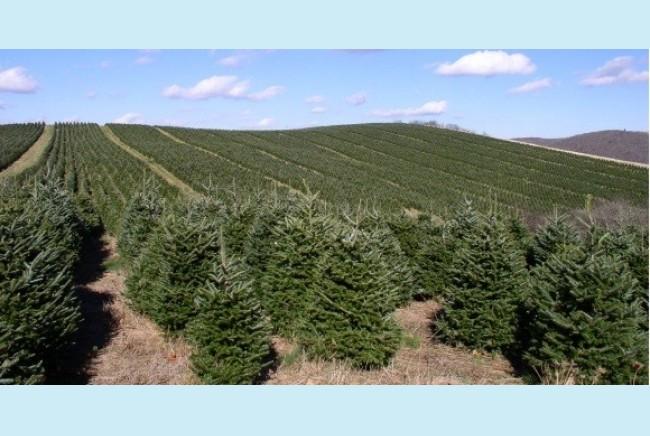 El lado verde de la navidad curiosidades asociaci n de for Precio abeto vivero